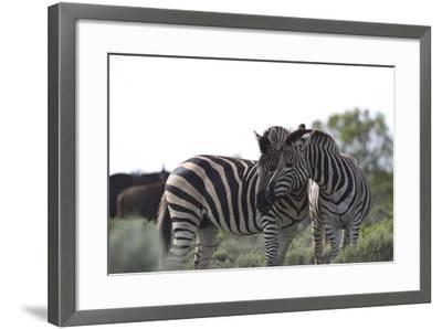 African Zebras 076-Bob Langrish-Framed Photographic Print