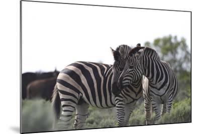 African Zebras 076-Bob Langrish-Mounted Photographic Print