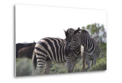 African Zebras 076-Bob Langrish-Metal Print