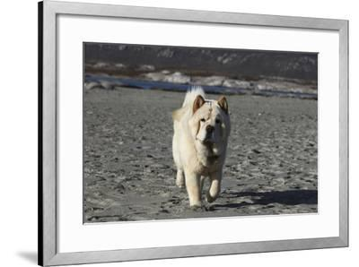Chow Chow 24-Bob Langrish-Framed Photographic Print
