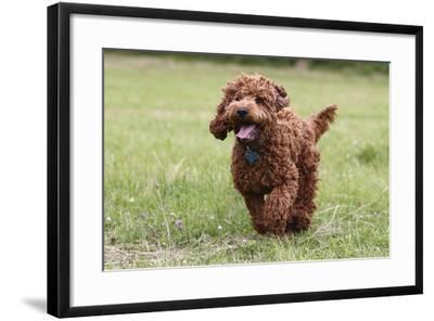 Cockerpoo 10-Bob Langrish-Framed Photographic Print