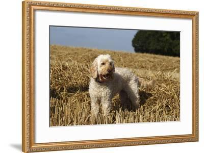Cockerpoo 08-Bob Langrish-Framed Photographic Print