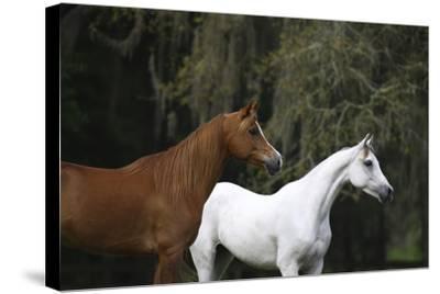 Ploomwood Arabians 022-Bob Langrish-Stretched Canvas Print