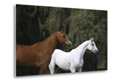 Ploomwood Arabians 022-Bob Langrish-Metal Print