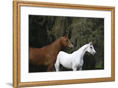 Ploomwood Arabians 022-Bob Langrish-Framed Photographic Print