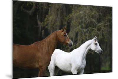 Ploomwood Arabians 022-Bob Langrish-Mounted Photographic Print