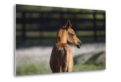 Hennessy Arabians 018-Bob Langrish-Metal Print