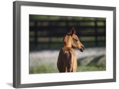 Hennessy Arabians 018-Bob Langrish-Framed Photographic Print