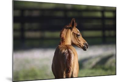 Hennessy Arabians 018-Bob Langrish-Mounted Photographic Print