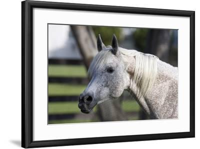 Hennessy Arabians 021-Bob Langrish-Framed Photographic Print