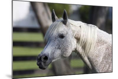 Hennessy Arabians 021-Bob Langrish-Mounted Photographic Print