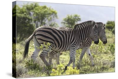 African Zebras 115-Bob Langrish-Stretched Canvas Print