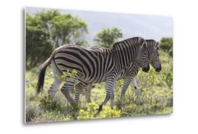 African Zebras 115-Bob Langrish-Metal Print