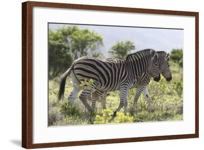 African Zebras 115-Bob Langrish-Framed Photographic Print