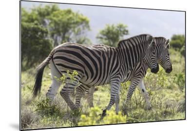 African Zebras 115-Bob Langrish-Mounted Photographic Print