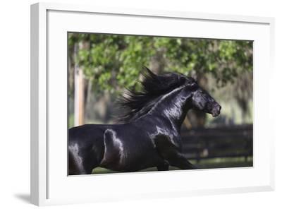 Lusitano 004-Bob Langrish-Framed Photographic Print
