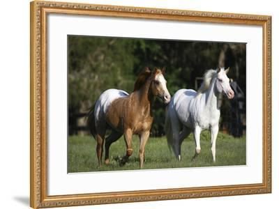 Appaloosa Lynns 005-Bob Langrish-Framed Photographic Print