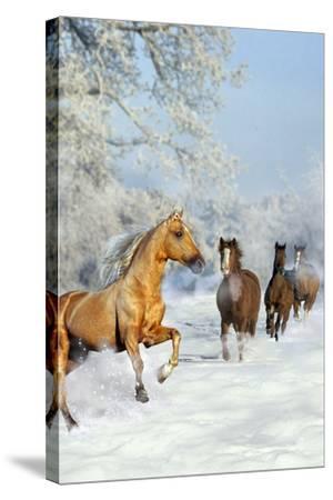 Dream Horses 017-Bob Langrish-Stretched Canvas Print