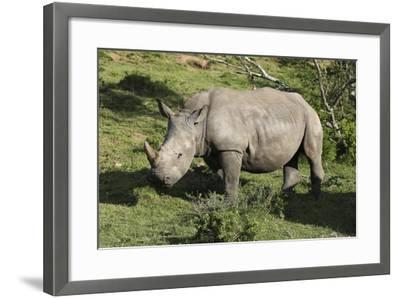 South African White Rhinoceros 022-Bob Langrish-Framed Photographic Print