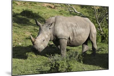 South African White Rhinoceros 022-Bob Langrish-Mounted Photographic Print