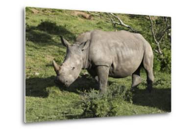 South African White Rhinoceros 022-Bob Langrish-Metal Print