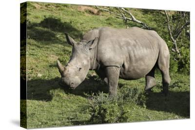 South African White Rhinoceros 022-Bob Langrish-Stretched Canvas Print