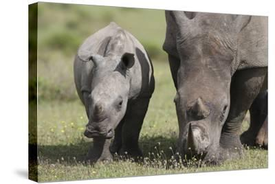 South African White Rhinoceros 014-Bob Langrish-Stretched Canvas Print