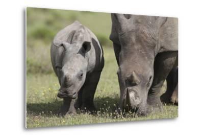 South African White Rhinoceros 014-Bob Langrish-Metal Print