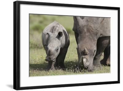 South African White Rhinoceros 014-Bob Langrish-Framed Photographic Print