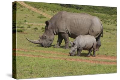 South African White Rhinoceros 028-Bob Langrish-Stretched Canvas Print