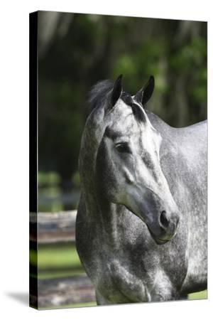 Quarter Horses 003-Bob Langrish-Stretched Canvas Print