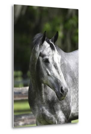 Quarter Horses 003-Bob Langrish-Metal Print