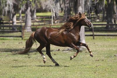 Paso Stallion-Bob Langrish-Framed Photographic Print