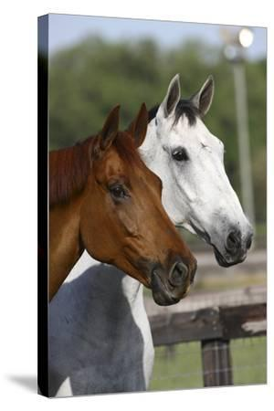 Canadian Sport Horses 011-Bob Langrish-Stretched Canvas Print