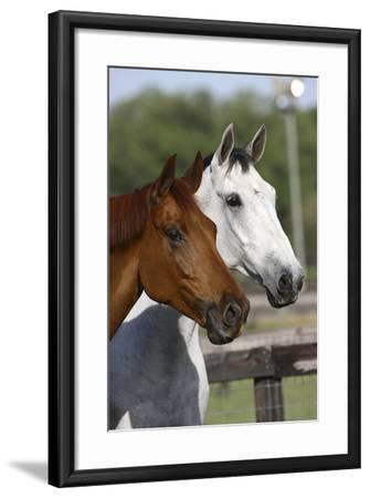 Canadian Sport Horses 011-Bob Langrish-Framed Photographic Print