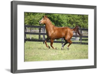 Quarter Horses 015-Bob Langrish-Framed Photographic Print