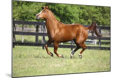 Quarter Horses 015-Bob Langrish-Mounted Photographic Print