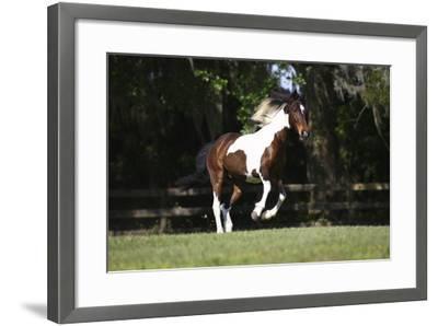 Tennessee Walker 001-Bob Langrish-Framed Photographic Print