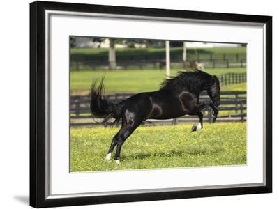 Rocky Mountain Stallion 001-Bob Langrish-Framed Photographic Print