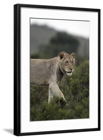 African Lions 045-Bob Langrish-Framed Photographic Print