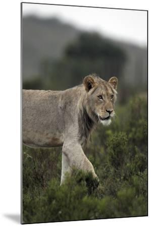 African Lions 045-Bob Langrish-Mounted Photographic Print