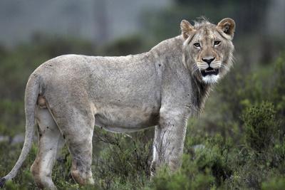 African Lions 044-Bob Langrish-Framed Photographic Print