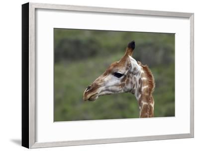 African Giraffes 003-Bob Langrish-Framed Photographic Print