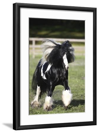 Gypsy Vanner 007-Bob Langrish-Framed Photographic Print