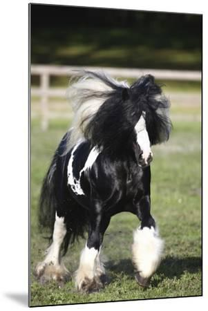 Gypsy Vanner 007-Bob Langrish-Mounted Photographic Print