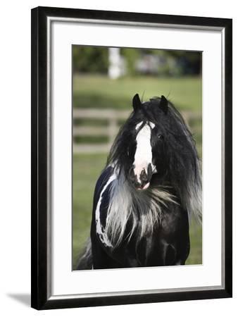 Gypsy Vanner 006-Bob Langrish-Framed Photographic Print