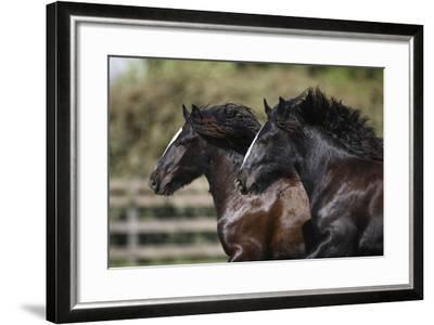 Gypsy Vanner 011-Bob Langrish-Framed Photographic Print