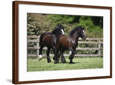 Gypsy Vanner 008-Bob Langrish-Framed Photographic Print