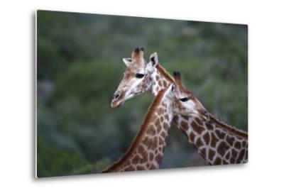 African Giraffes 014-Bob Langrish-Metal Print