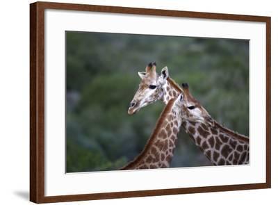 African Giraffes 014-Bob Langrish-Framed Photographic Print